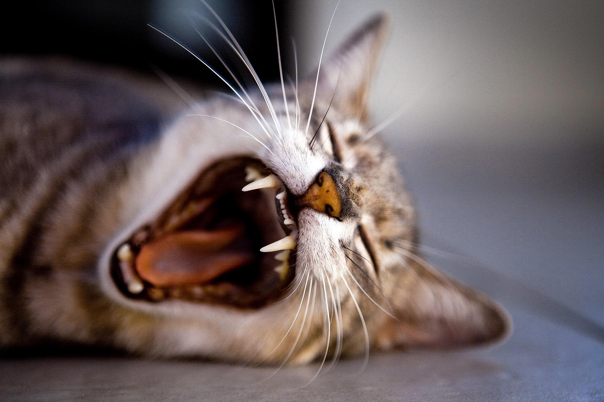 cat-health-teeth-yawning